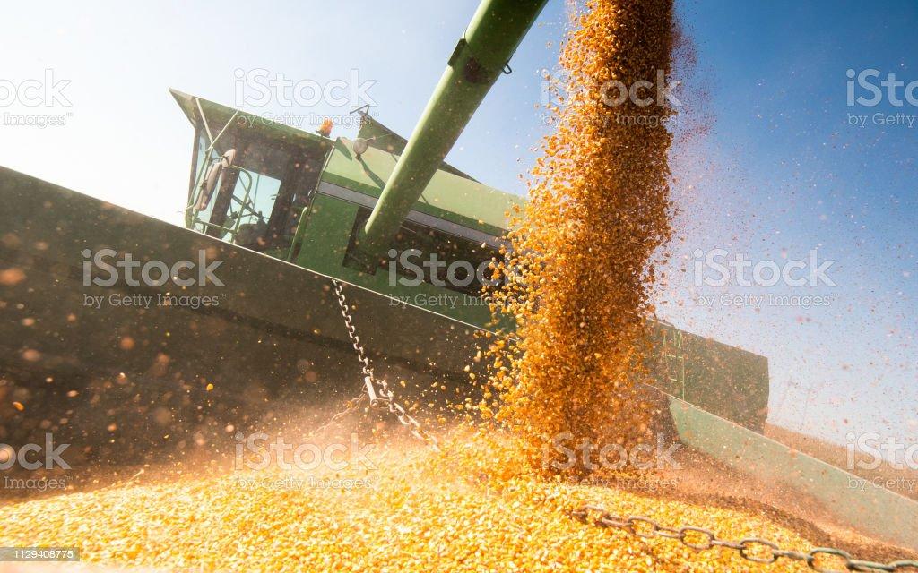 Pouring corn grain into tractor trailer after harvest at field - Zbiór zdjęć royalty-free (Dojrzały)
