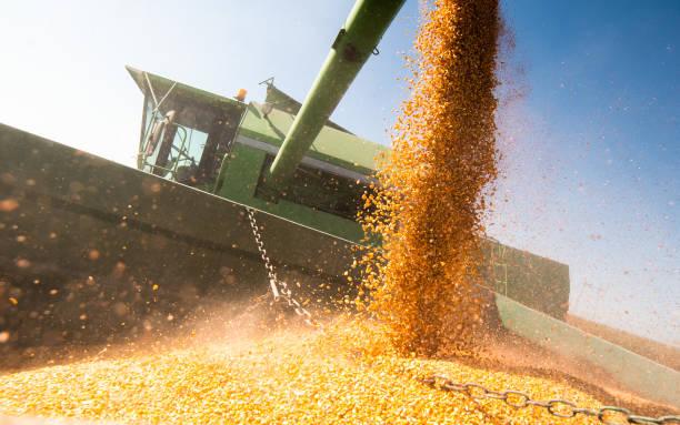 Mais nach der Ernte am Feld in Traktoranhänger gießen – Foto