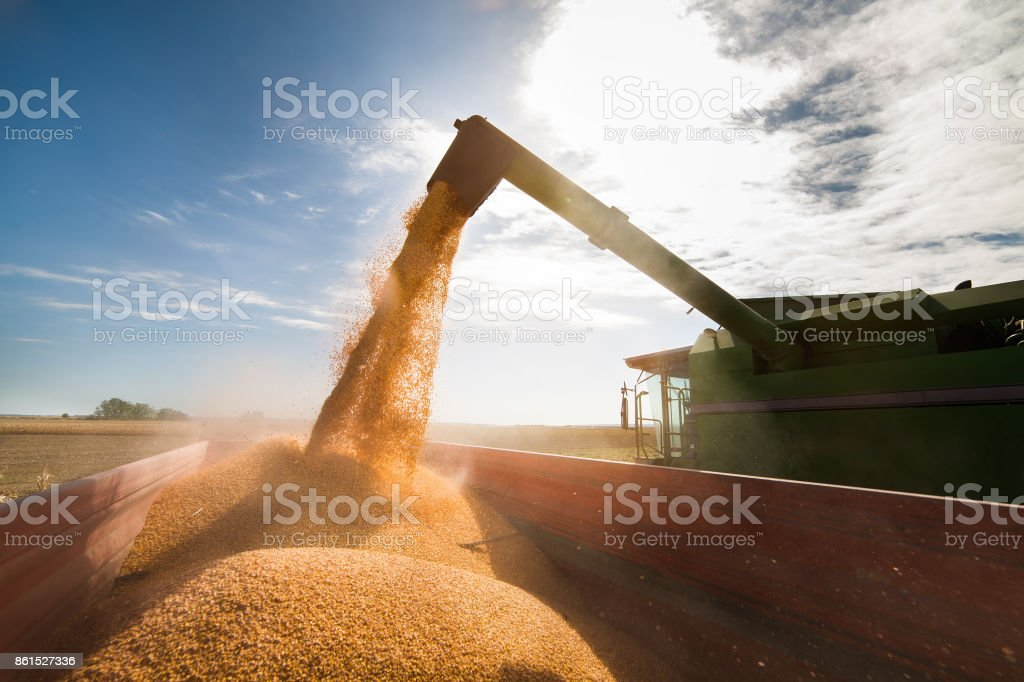 Pouring corn grain into tractor trailer after harvest stock photo