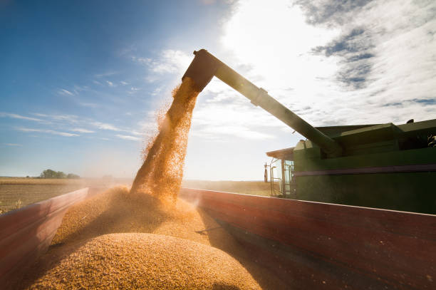 pouring corn grain into tractor trailer after harvest - harvesting stock photos and pictures