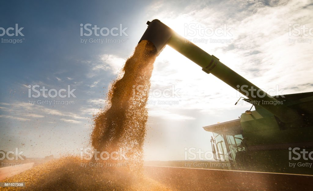Pouring corn grain into tractor trailer after harvest Pouring corn grain into tractor trailer after harvest Agricultural Field Stock Photo