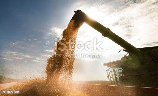 Pouring corn grain into tractor trailer after harvest