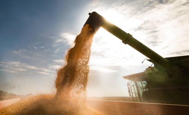 wylewanie ziarna kukurydzy do przyczepy ciągnika po zbiorach - zbierać plony zdjęcia i obrazy z banku zdjęć