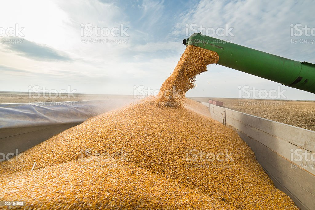 Pouring corn grain into tractor trailer stock photo