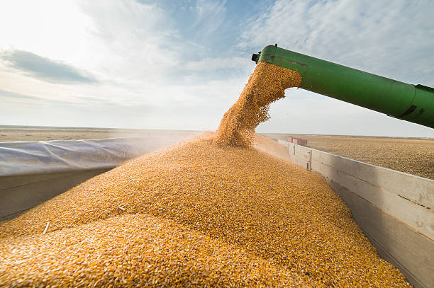 pouring corn grain into tractor trailer - gewas stockfoto's en -beelden