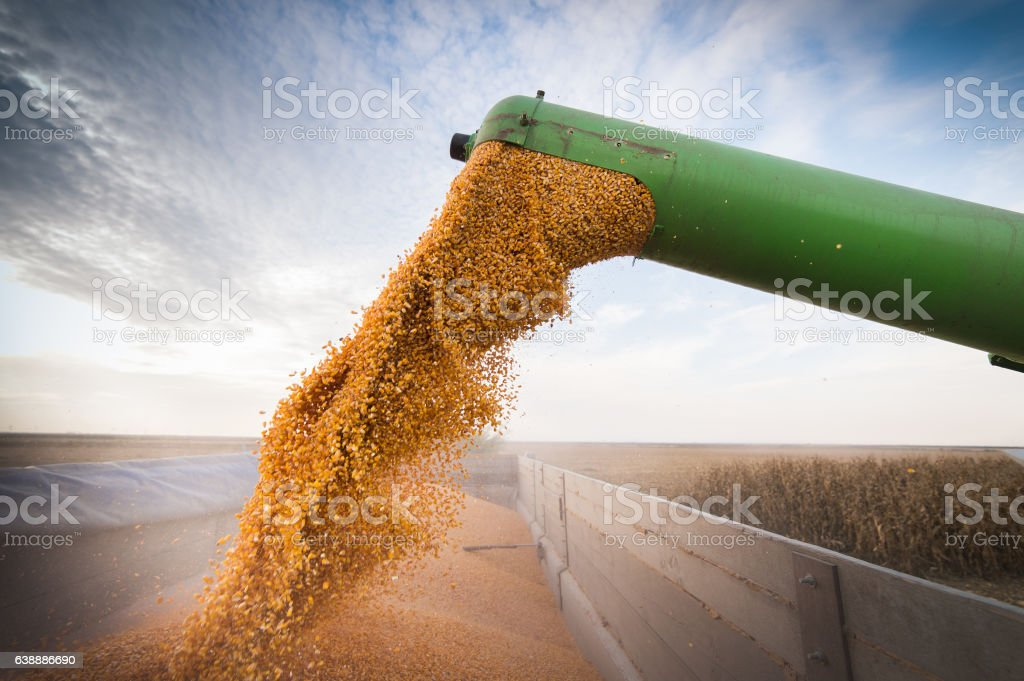 Pouring corn grain into tractor trailer - foto de stock