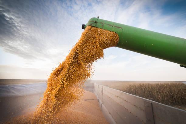 Pouring corn grain into tractor trailer - foto de stock