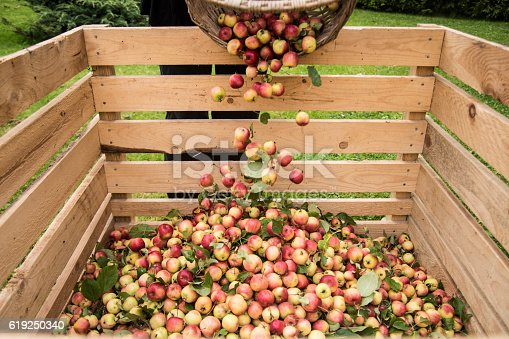Pouring crabapples from basket to crate