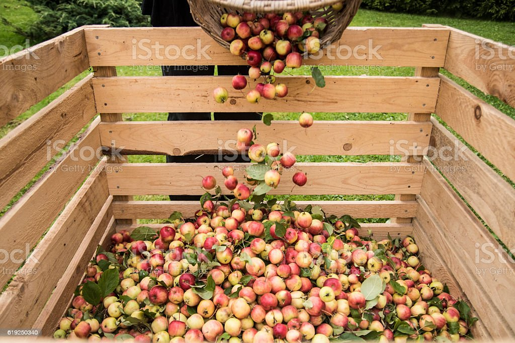 Pouring crabapples from basket to crate stock photo