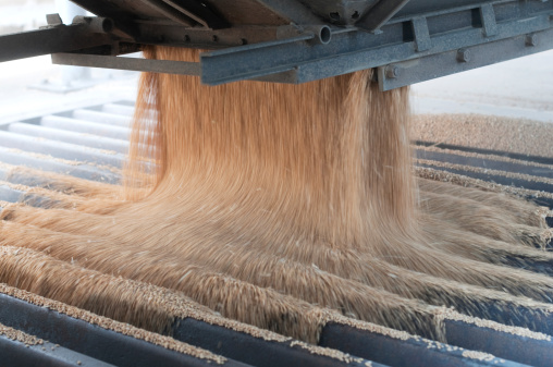 Harvested wheat being poured from a truck into a grain elevator.  The wheat is a light brown color and is being poured off of a gray surface extending from the truck.  The wheat is being poured into a gray metal grate.