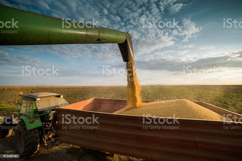 Eingießen Sojabohnen – Foto