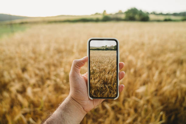 Pov view of a man holding a smart phone and taking a picture of a wheat field at sunset stock photo
