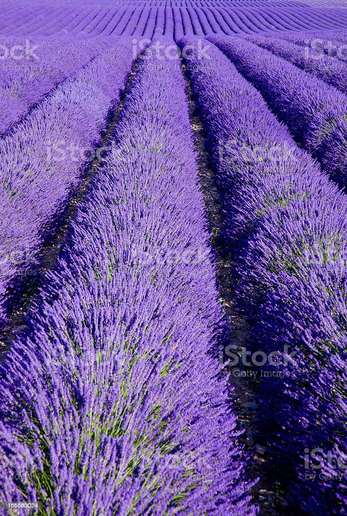 Povençal lavender field stock photo