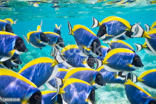 shoal of powder blue surgeonfish play and dance underwater