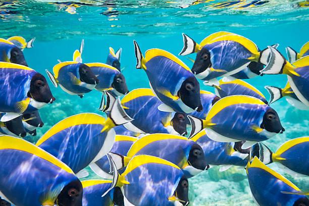 powder blue surgeonfish - tropikalna ryba zdjęcia i obrazy z banku zdjęć