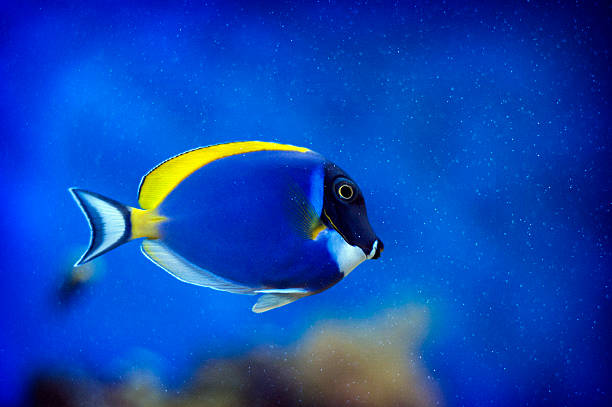 Powder Blue Tang Powder Blue Tang - inside marine aquarium herbivorous stock pictures, royalty-free photos & images