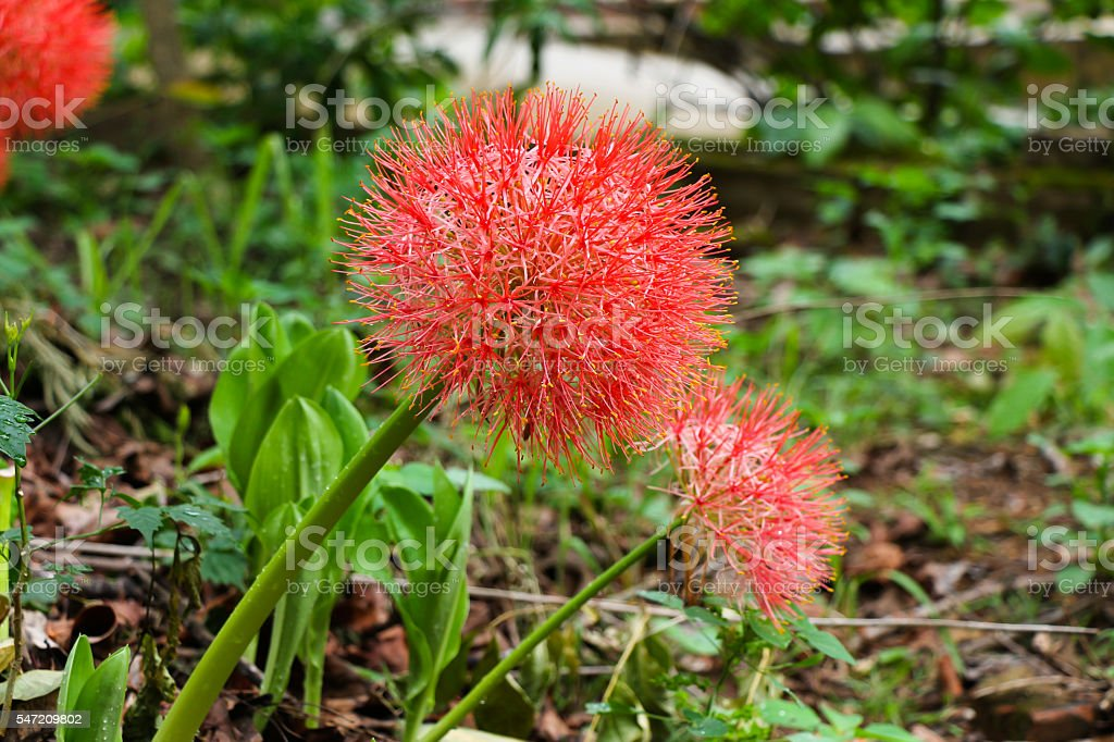 powderpuff lily, blood lily flower stock photo