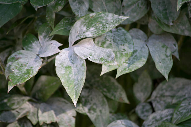 powdery mildew disease on peonies - dept stock pictures, royalty-free photos & images
