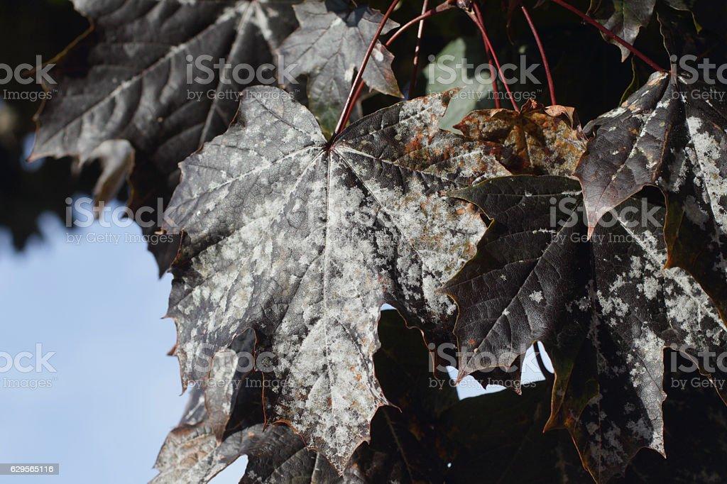 Powdery mildew on dark leafpurple leaved Norway maple Schwedler stock photo