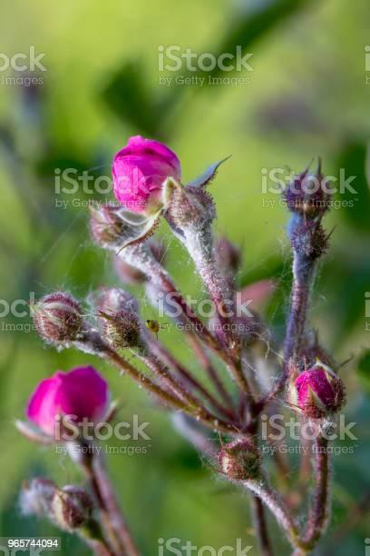 Powdery Mildew On Roses Shoot Macro Closeup - Fotografias de stock e mais imagens de Abstrato