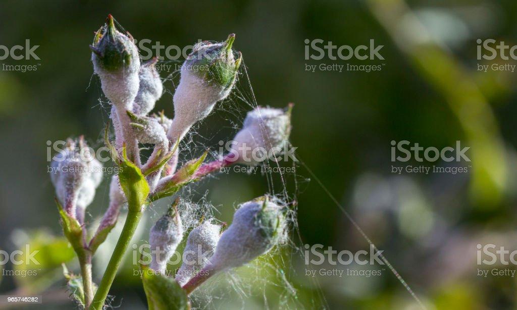 echte meeldauw op rozen shoot, macro close-up - Royalty-free Abstract Stockfoto