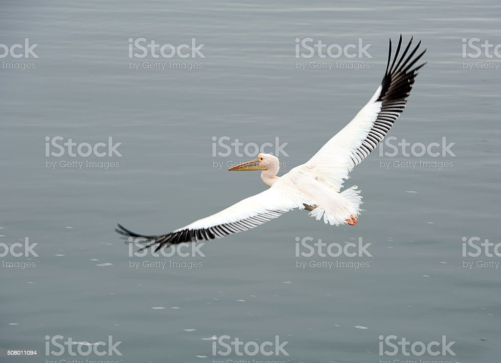Power glide Pelican, Walvis Bay, Namibia, Africa stock photo