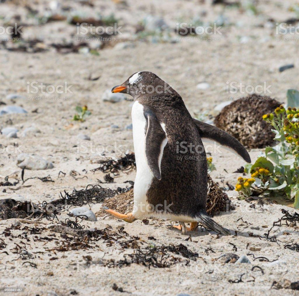 Power Walking Gentoo Penguin  Kicking Up Sand stock photo