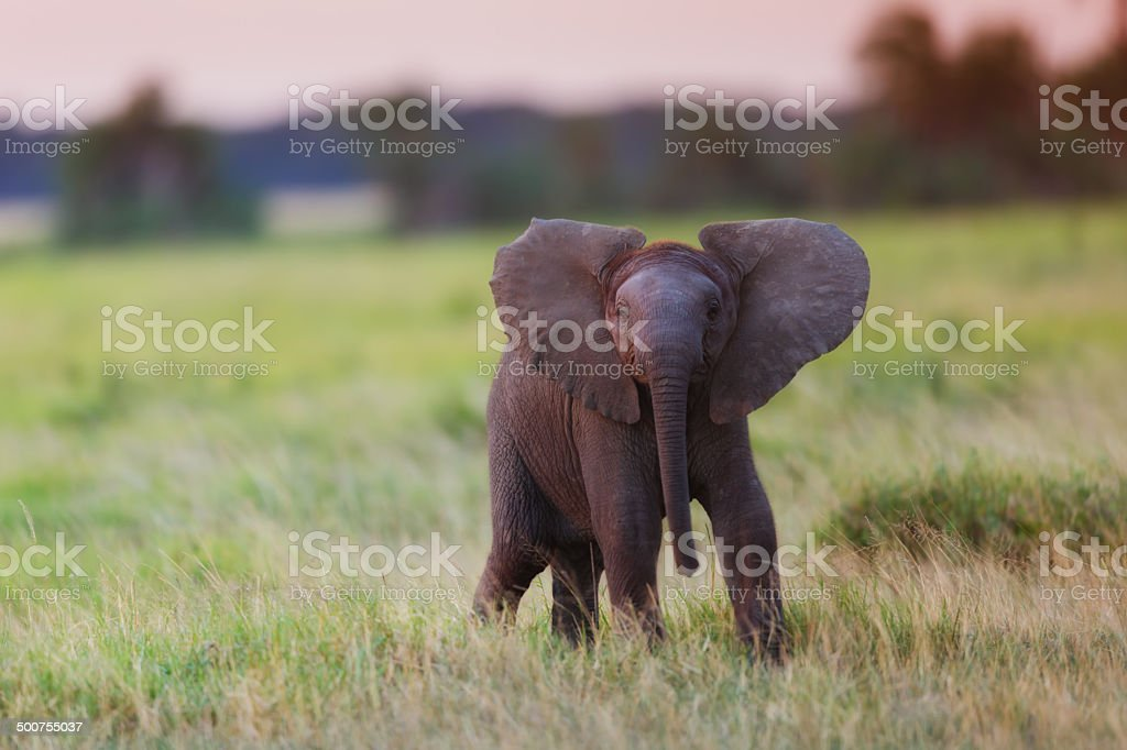 Powerful African Elephant calf at sunset stock photo