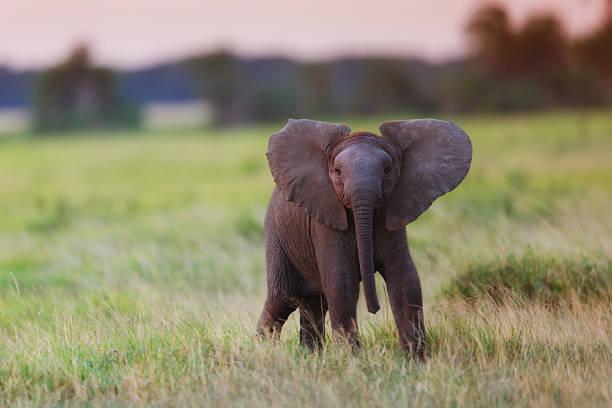 Powerful African Elephant calf at sunset Amboseli National Park, Kenya elephant calf stock pictures, royalty-free photos & images