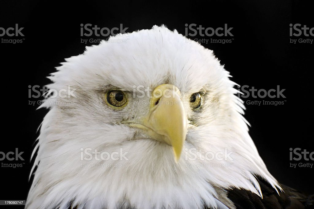 Powerful American Bald Eagle Portrait with black background stock photo
