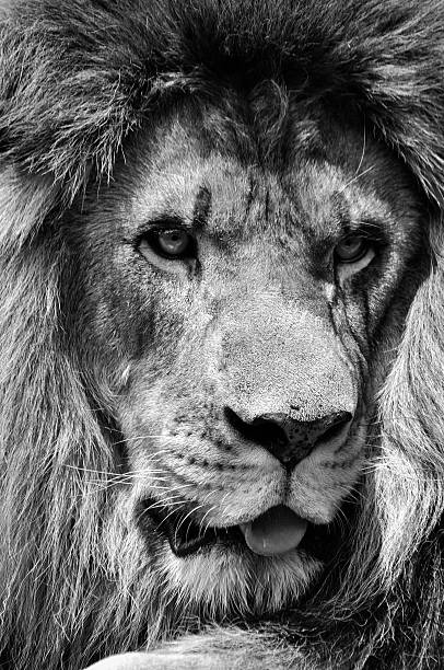 Powerful black and white male lion face in high contrast stock photo