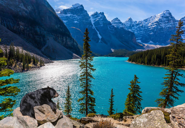 Powerful black bear rests on the lake Powerful black bear rests on a the high bank of the lake. Moraine Lake, Canadian Rockies, Province of Alberta. The concept of ecological, photographic and active tourism canadian rockies stock pictures, royalty-free photos & images