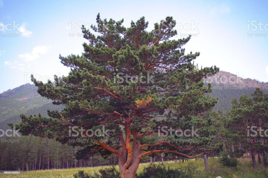 Powerful coniferous tree at the edge of the forest royalty-free stock photo