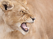 Furious mighty lioness profile