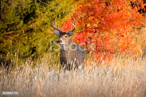 istock Powerful Male Whitetail Buck During Fall Rutting Season In Kansas 505684702