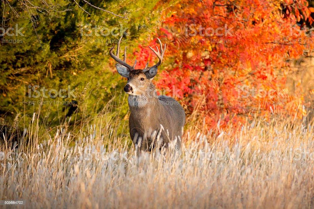 Starke männliche Whitetail Buck im Herbst während der Brunftzeit In Kansas – Foto