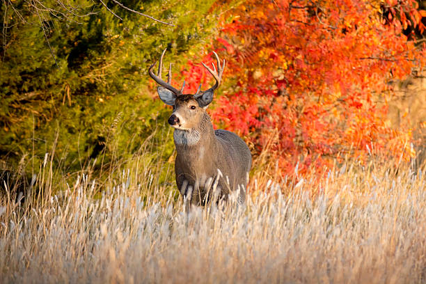 Potente uomo Whitetail Buck durante l'autunno calore stagione del Kansas - foto stock