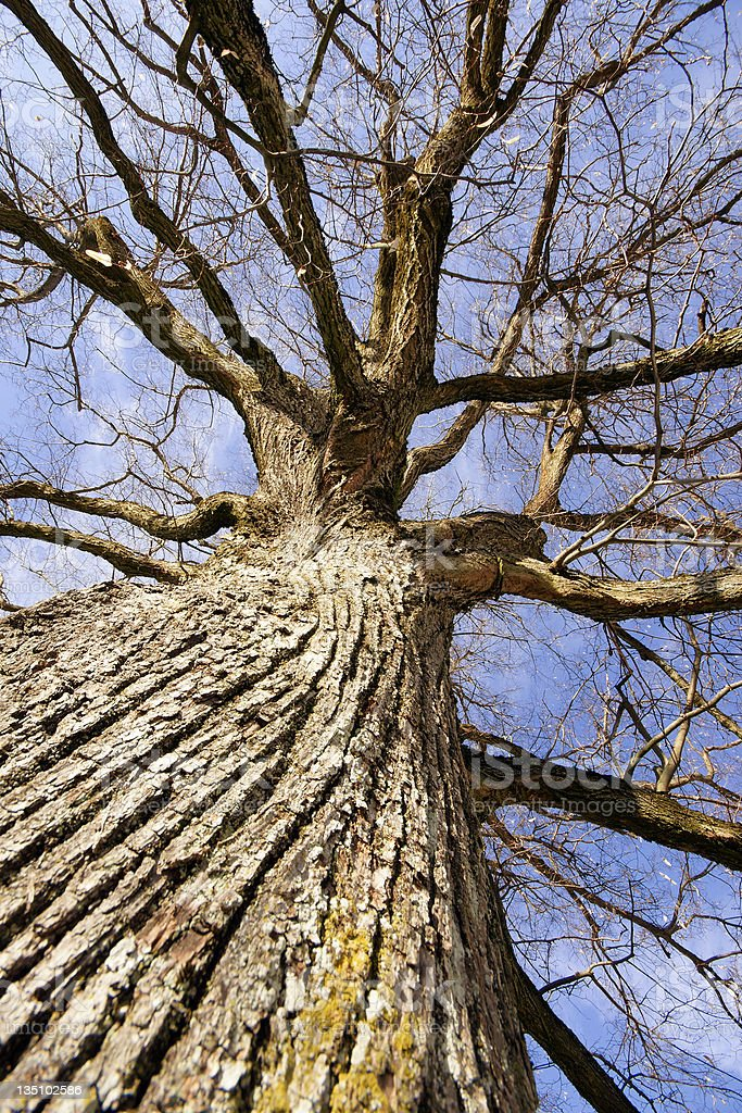 Powerful Oak royalty-free stock photo