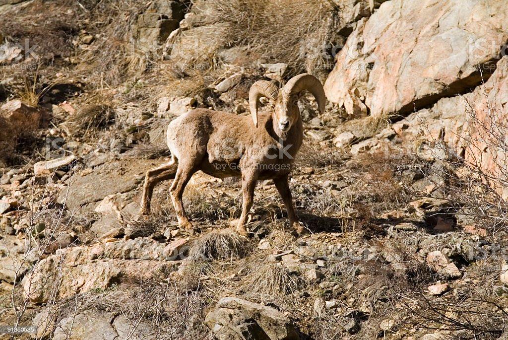 Powerful Ram stock photo