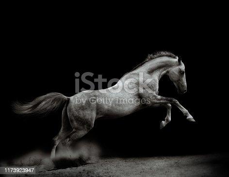 Powerful silver-gray stallion on black