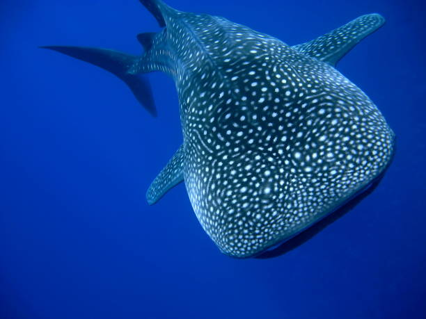 Powerful Whale Shark Underwater Head on underwater photo of a huge whale shark in blue ocean water whale shark stock pictures, royalty-free photos & images
