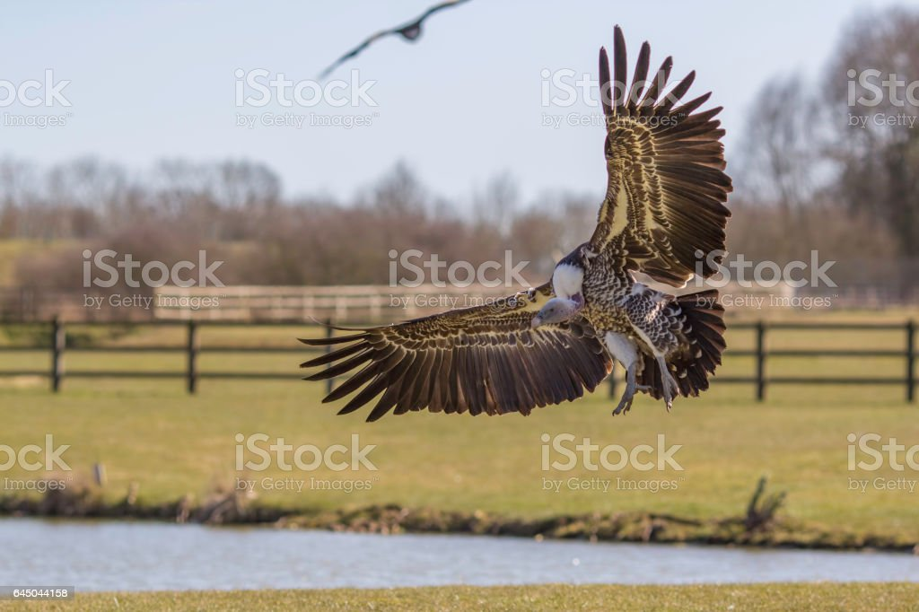 Rüppell's griffon vulture coming in to land stock photo