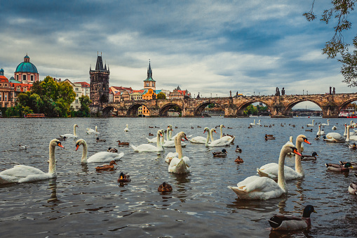 Prague of Charles Bridge in Prague with couple of swans in the foreground.