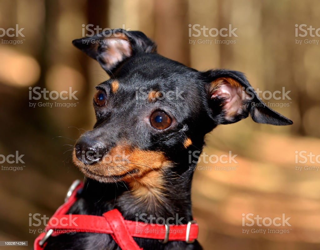 Prague Ratter pet cute head close-up detail in forrest stock photo