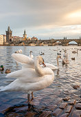 Beautiful view of Prague from the river with lots of swans and ducks