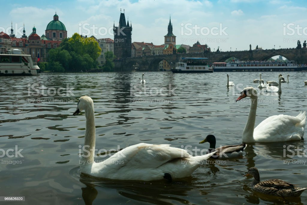 Prague, swans near the river bank in front of the old stone bridge - Royalty-free Animal Stock Photo