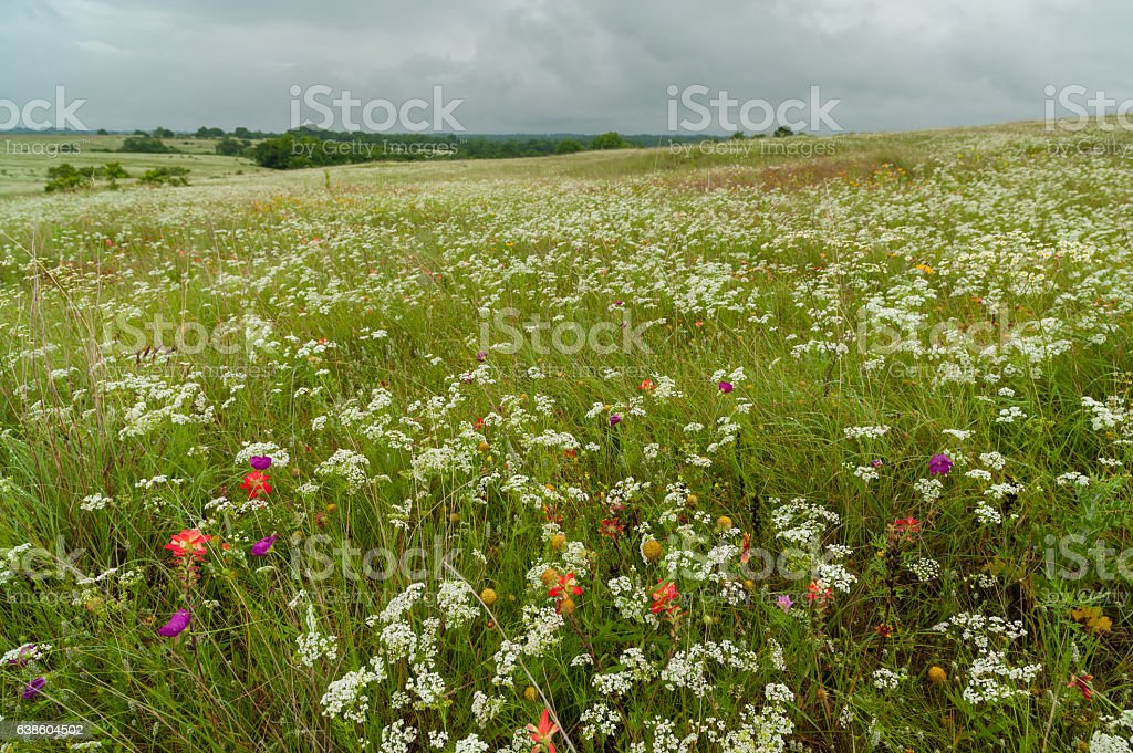 Prairie Bishop and Other Wildflowers in Oklahoma Prairie stock photo