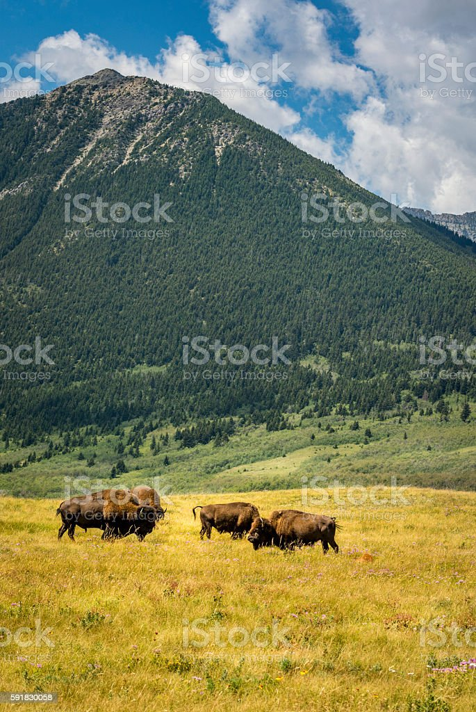 Prairie Buffaloes stock photo