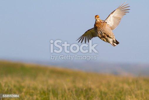 A prairie chicken on a lek in South Dakota