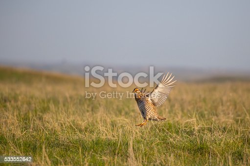 This shows the wide open land necessary for a prairie chicken to live.  Here he is flying in South Dakota.
